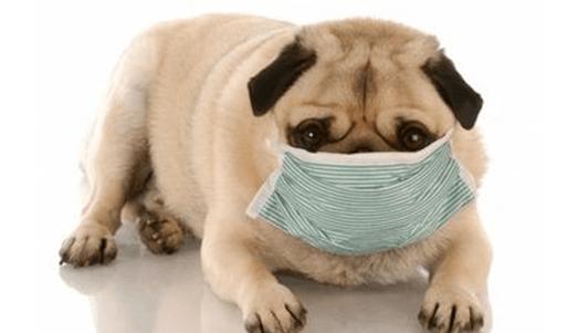 Cuidados veterinários: Você já ouviu falar em Parvovirose?